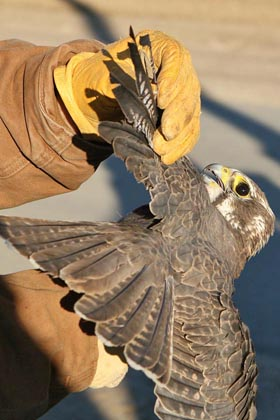 Prairie Falcon Photo @ Kiwifoto.com