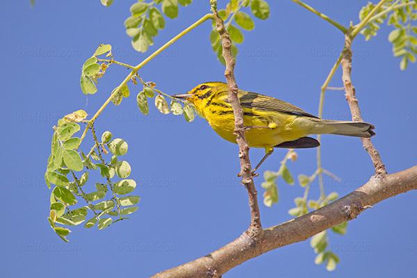 Prairie Warbler @ Rocklands Bird Sanctuary, Montego Bay, Jamaica