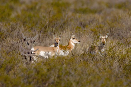 Pronghorn Antelope Photo @ Kiwifoto.com