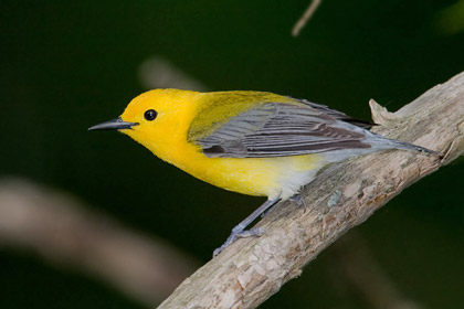 Prothonotary Warbler Picture @ Kiwifoto.com
