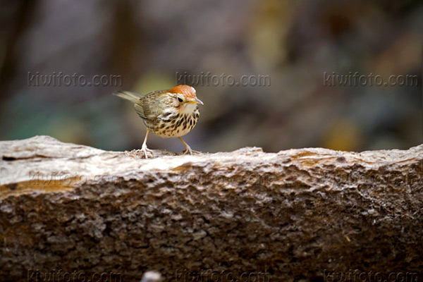 Puff-throated Babbler Photo @ Kiwifoto.com