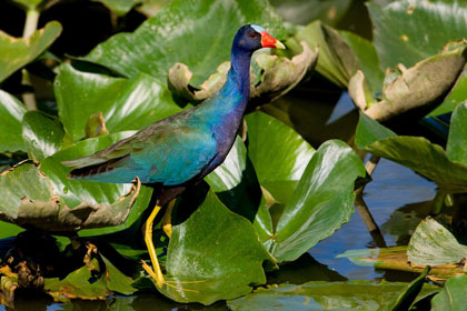 Purple Gallinule Picture @ Kiwifoto.com