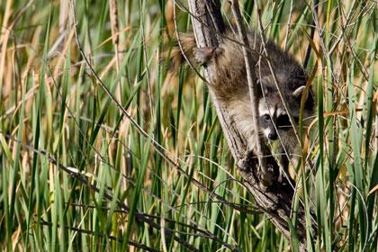 Raccoon Pictures and Photos - Photography - Bird   Wildlife