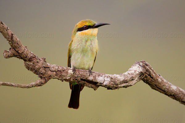 Rainbow Bee-eater Photo @ Kiwifoto.com