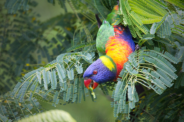 Rainbow Lorikeet Photo @ Kiwifoto.com