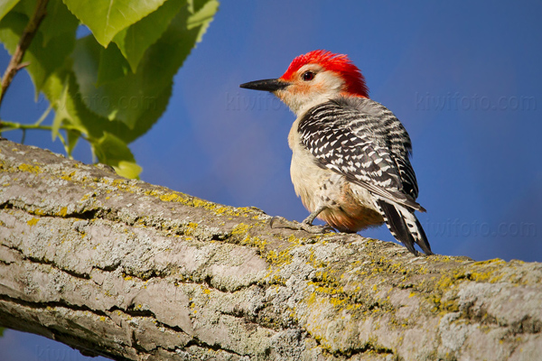 Red-bellied Woodpecker Image @ Kiwifoto.com