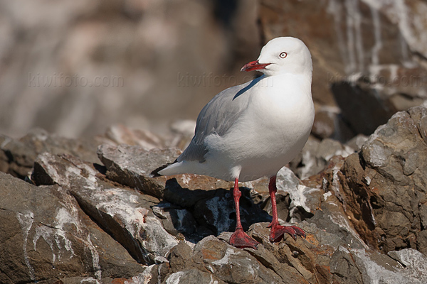 Red-billed Gull Photo @ Kiwifoto.com