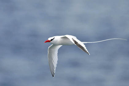 Red-billed Tropicbird Picture @ Kiwifoto.com