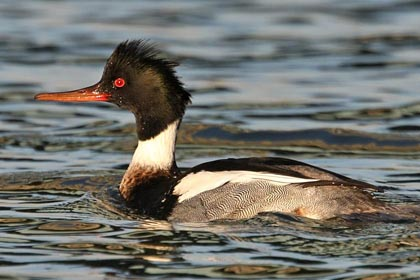 Red-breasted Merganser Photo @ Kiwifoto.com