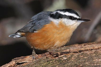 Red-breasted Nuthatch Picture @ Kiwifoto.com