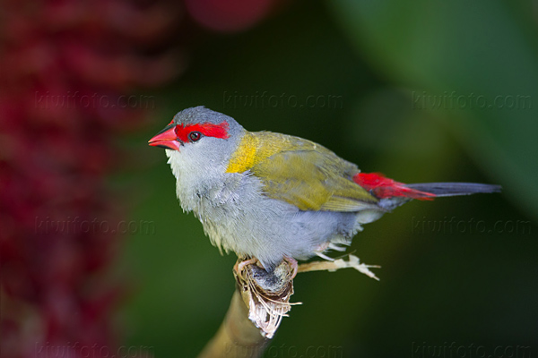 Red-browed Finch Image @ Kiwifoto.com