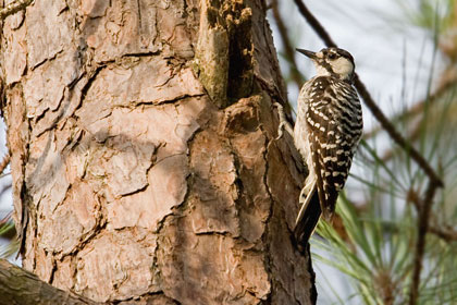 Red-cockaded Woodpecker Photo @ Kiwifoto.com