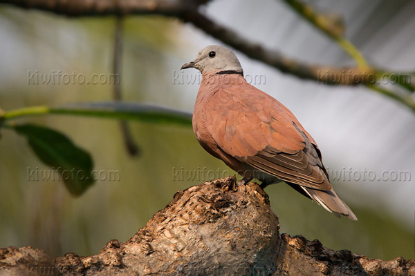 Red-collared-Dove Photo @ Kiwifoto.com