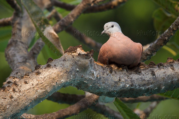 Red-collared-Dove Image @ Kiwifoto.com