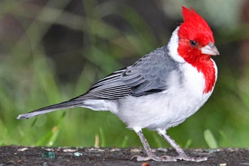 Red-crested Cardinal Picture @ Kiwifoto.com