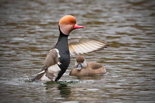 Red-crested Pochard Picture @ Kiwifoto.com