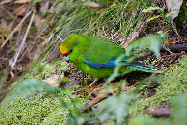 Red-crowned Parakeet (Kakariki)