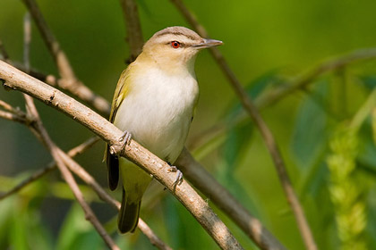 Red-eyed Vireo Picture @ Kiwifoto.com