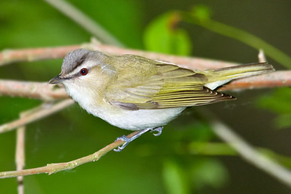Red-eyed Vireo Photo @ Kiwifoto.com