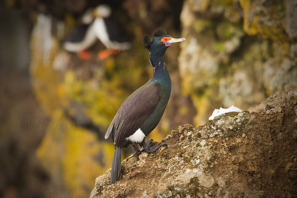 Red-faced Cormorant Photo @ Kiwifoto.com