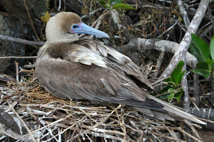 Red-footed Booby Photo @ Kiwifoto.com