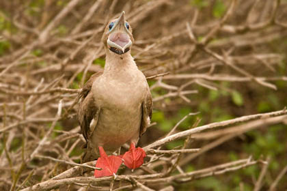 Red-footed Booby Picture @ Kiwifoto.com