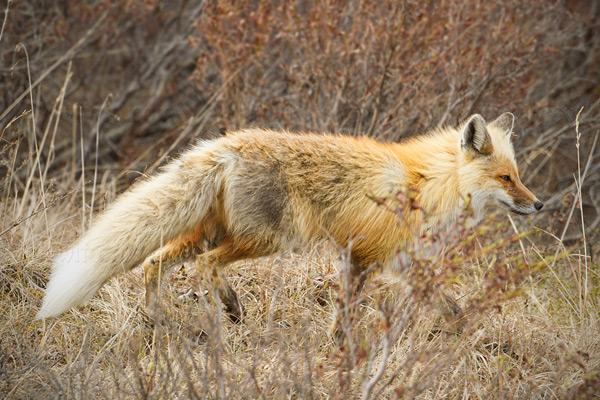 Red Fox Picture @ Kiwifoto.com