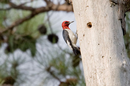 Red-headed Woodpecker Image