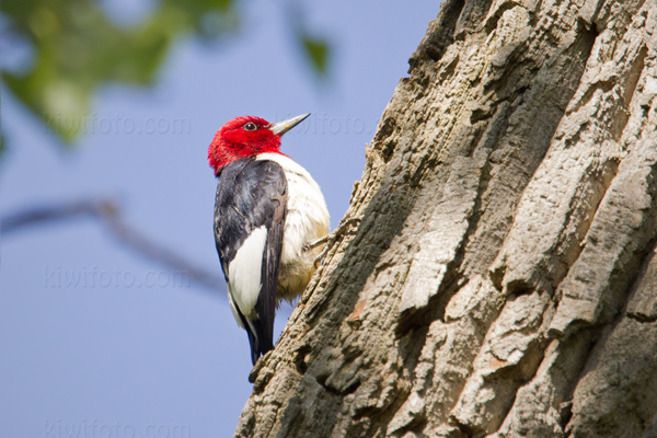 Red-headed Woodpecker Picture @ Kiwifoto.com