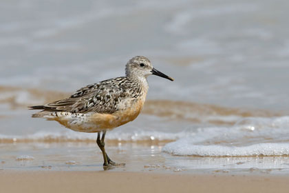 Red Knot Picture