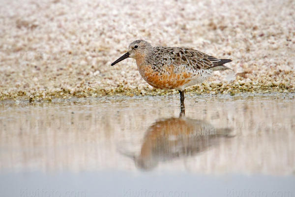 Red Knot @ Salt Creek, Salton Sea, CA