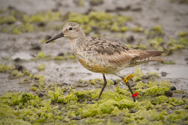 Red Knot (banded at Guerrero Negro, Baja California Sur, Mexico, on November 26, 2012)
