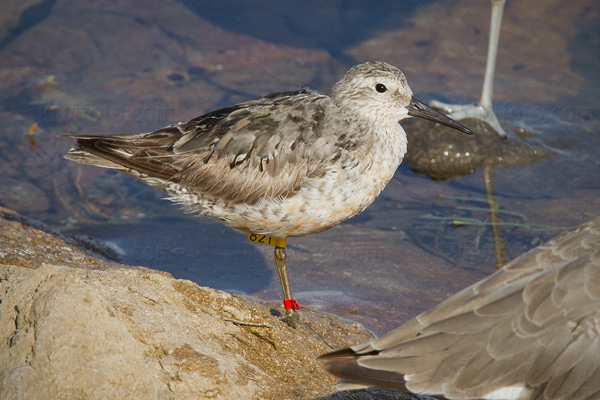 Red Knot Picture @ Kiwifoto.com