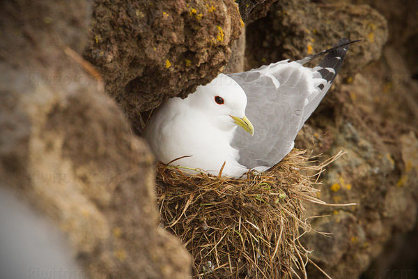 Red-legged Kittiwake Photo @ Kiwifoto.com