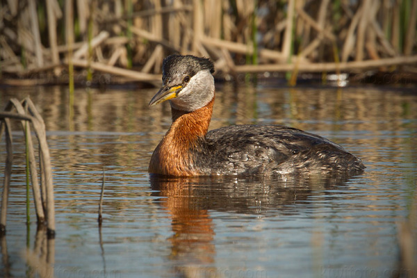 Red-necked Grebe Picture @ Kiwifoto.com