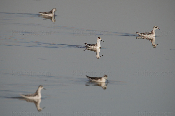 Red-necked Phalarope Picture @ Kiwifoto.com