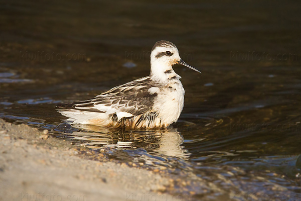 Red-necked Phalarope Photo @ Kiwifoto.com