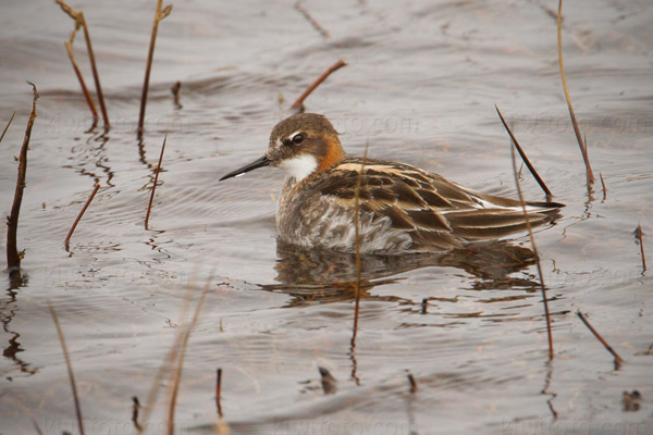 Red-necked Phalarope (male)