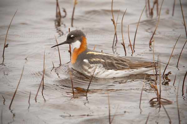 Red-necked Phalarope (female)