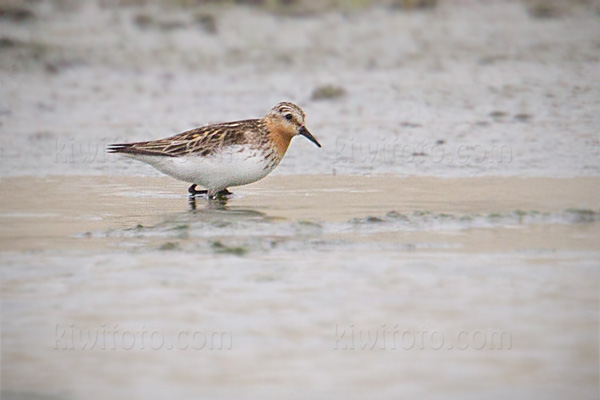 Red-necked Stint Picture @ Kiwifoto.com