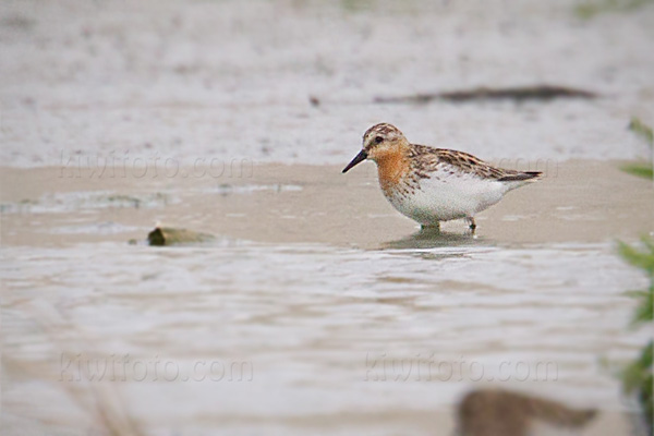 Red-necked Stint Image @ Kiwifoto.com