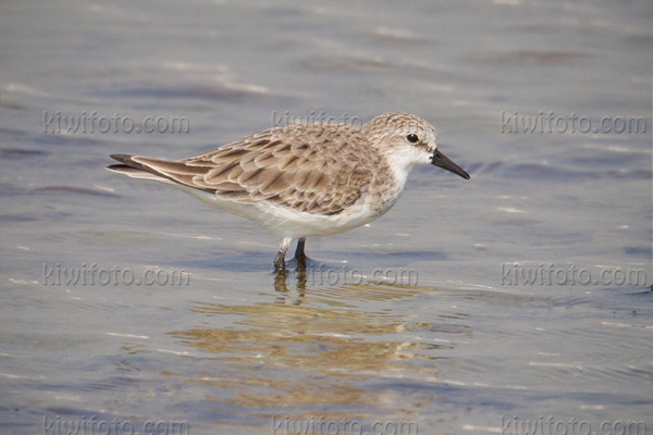 Red-necked Stint Photo @ Kiwifoto.com