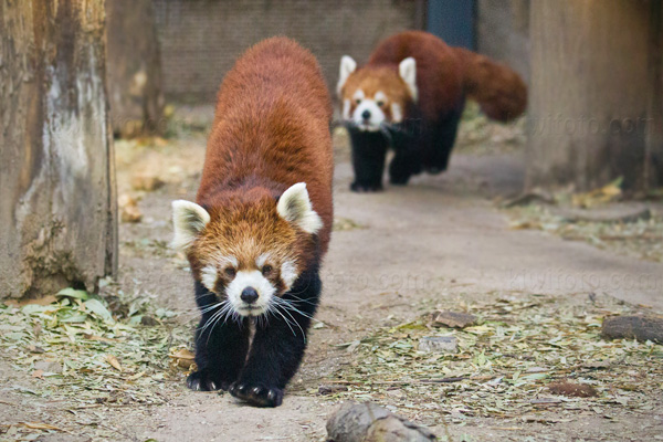 Red Panda Photo @ Kiwifoto.com