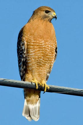 Red-shouldered Hawk Image @ Kiwifoto.com