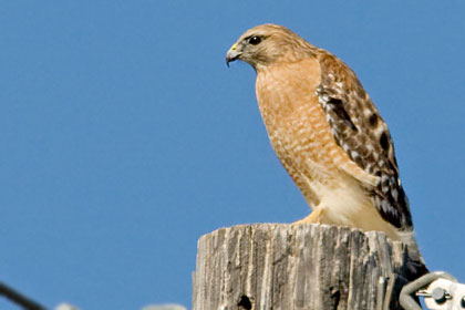 Red-shouldered Hawk (Eastern Race)