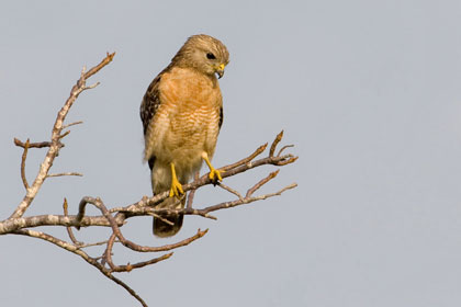 Red-shouldered Hawk (Florida race)