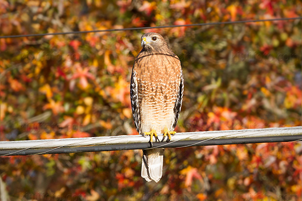 Red-shouldered Hawk Picture @ Kiwifoto.com