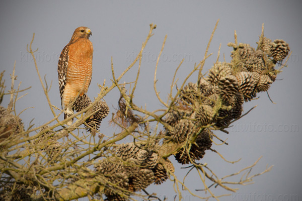 Red-shouldered Hawk Photo @ Kiwifoto.com