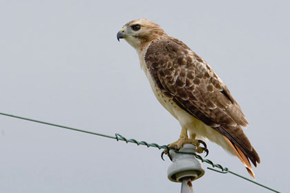 Red-tailed Hawk Photo @ Kiwifoto.com