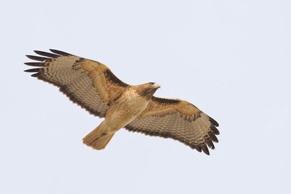 Red-tailed Hawk Picture @ Kiwifoto.com